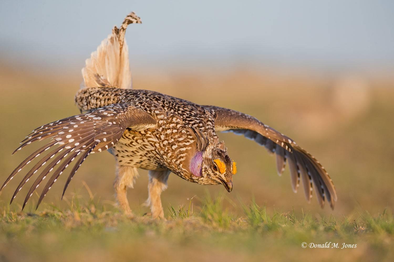 Sharp-tailed-Grouse0651D