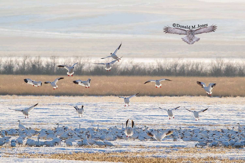 Snow-Goose2515D