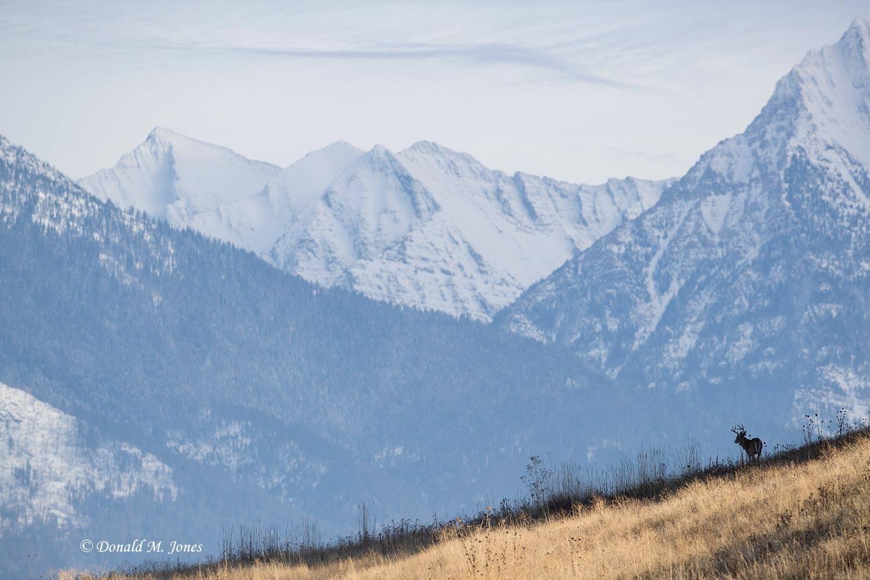 Whitetail-Deer58548D
