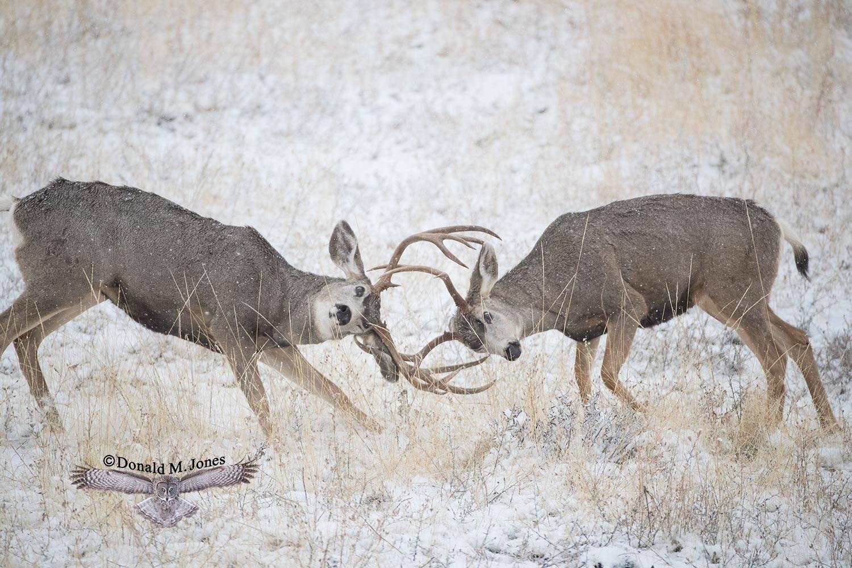 Mule-Deer10322D