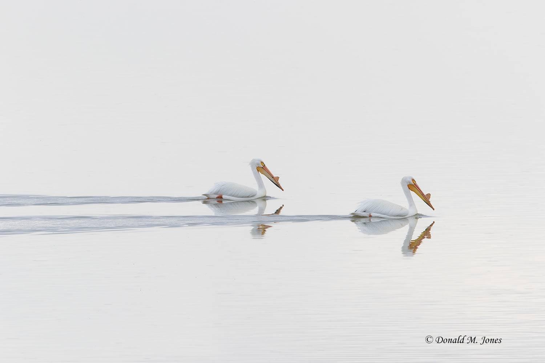 White-Pelican0064D