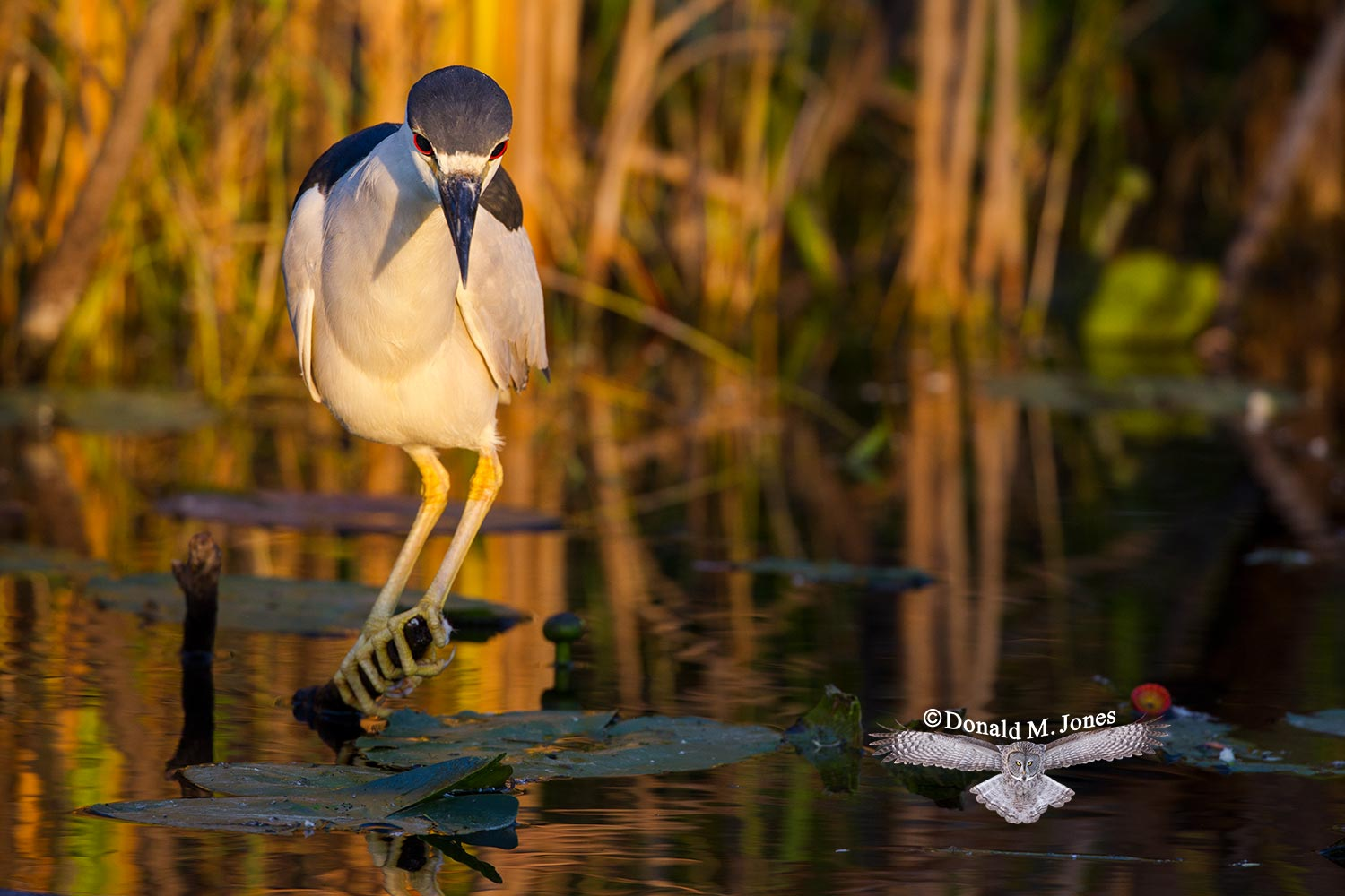 Black-crowned-Night-Heron0109D