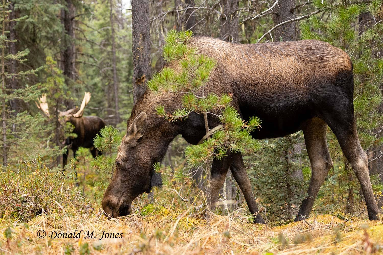 Moose07677D