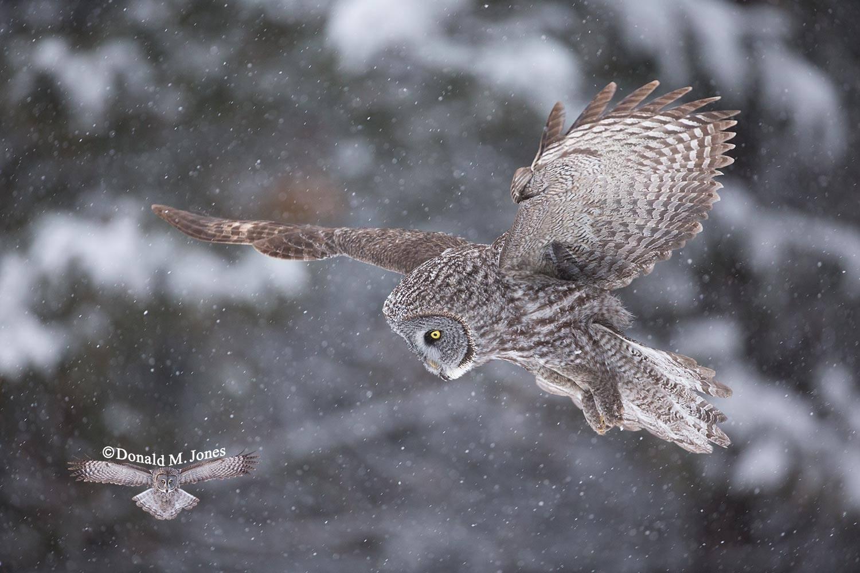 Great-Gray-Owl0949D