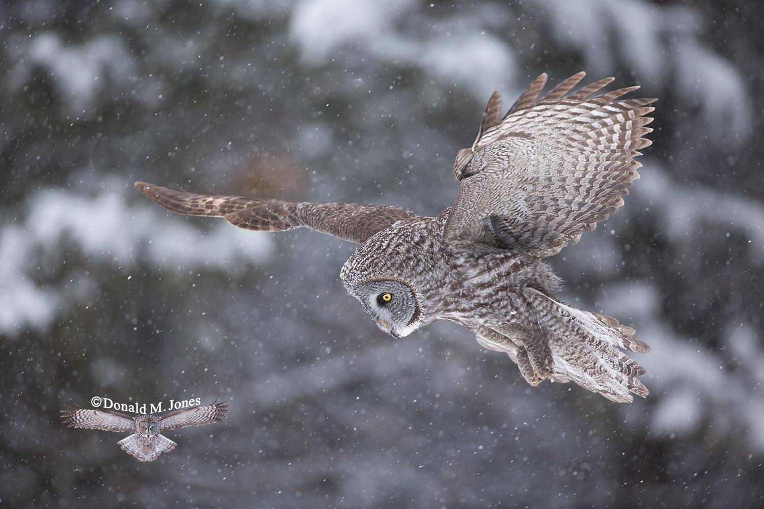 Great-Gray-Owl0949D