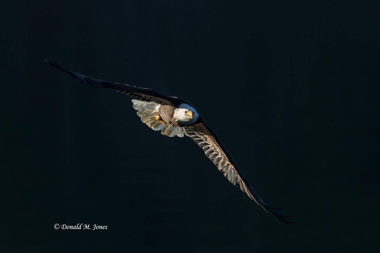 Bald-Eagle1016D