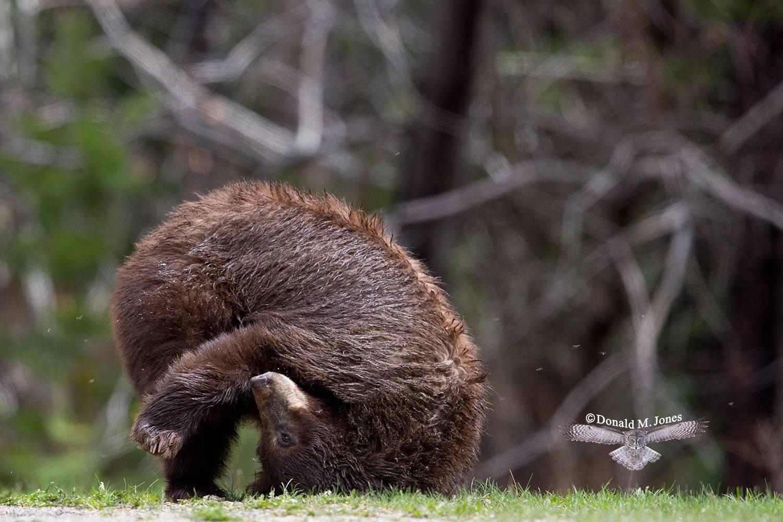 Black-Bear06246D