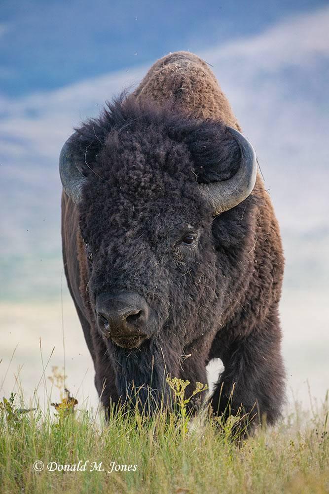 American-Bison2812D