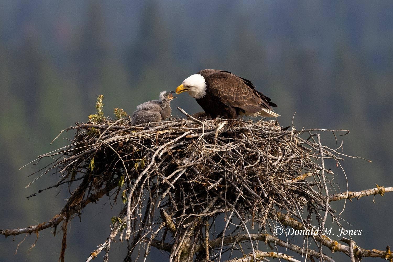 May 5 - Bald Eagle1132D