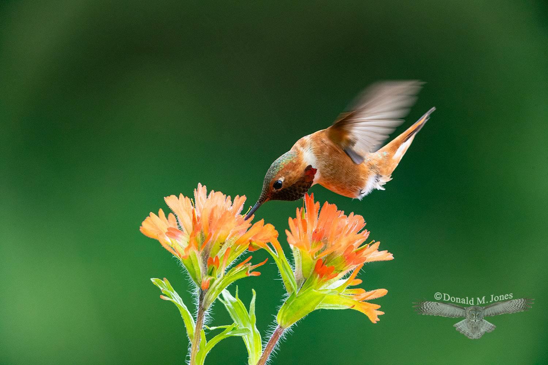 May 17 Rufus Hummingbird feeding on Indian Paintbrush