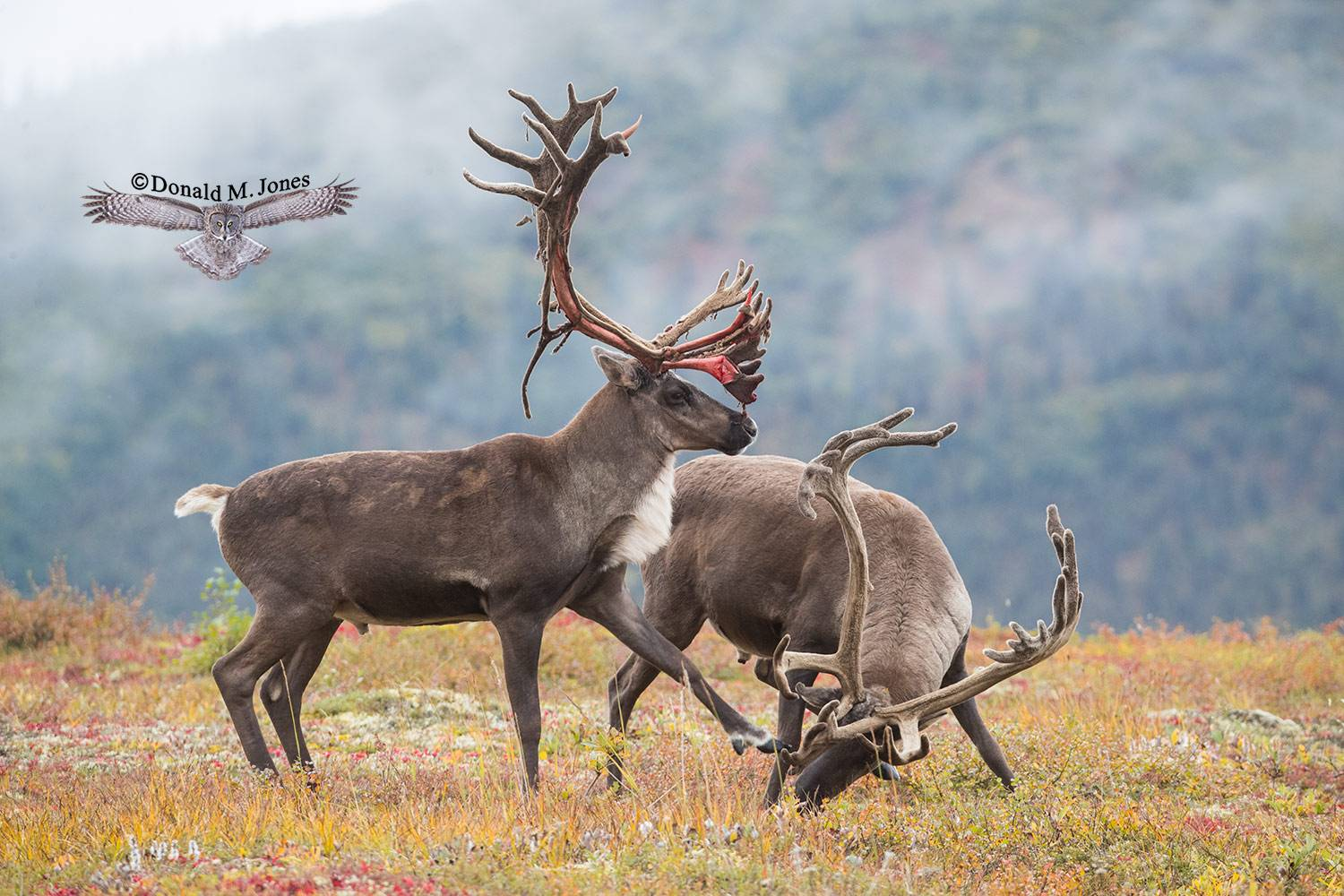 Barren-Ground-Caribou03964D