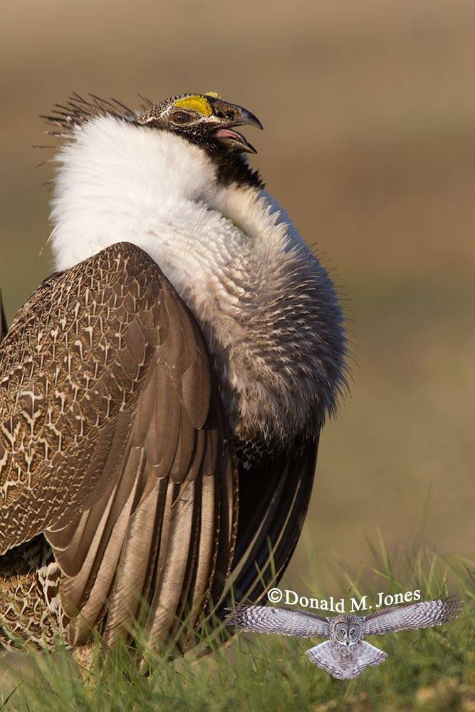 Greater-Sage-Grouse0807D