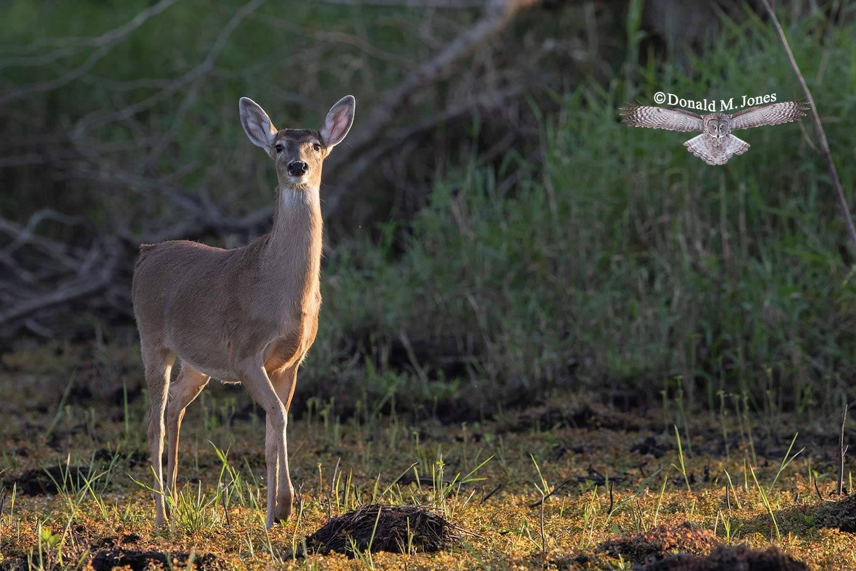 Whitetail-deer58801D