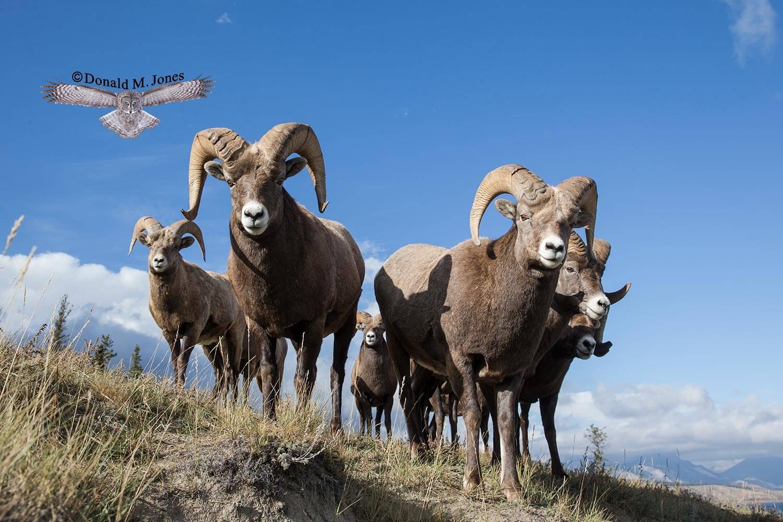 Bighorn-Sheep05391D