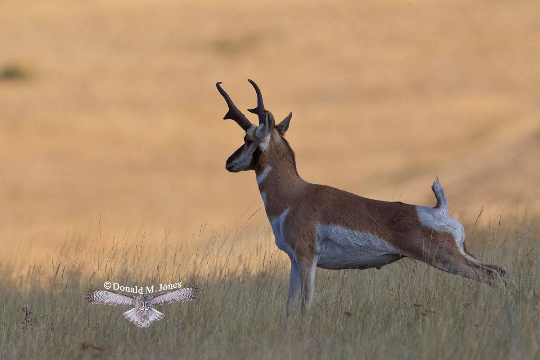 Pronghorn-Antelope04284D