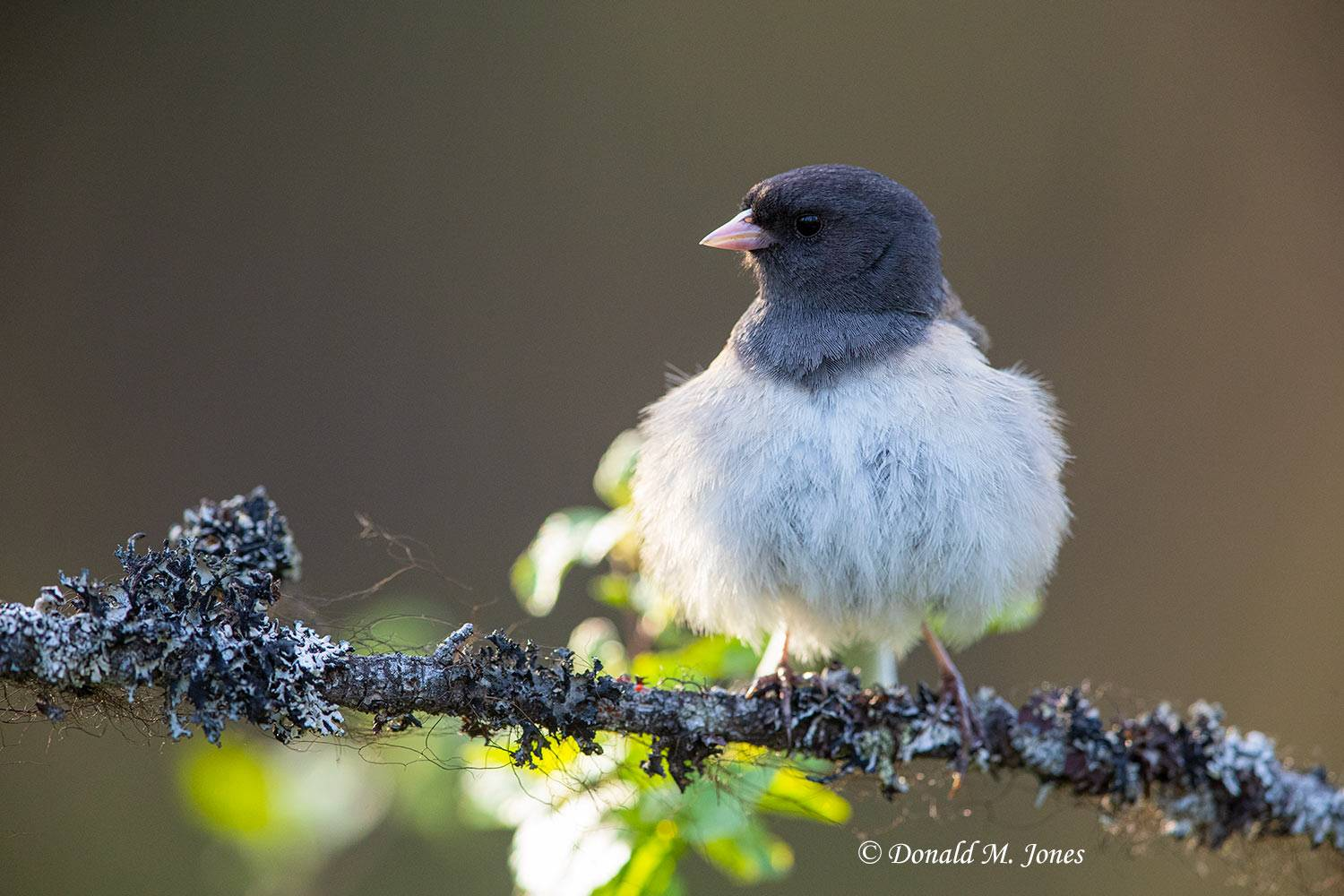 May 10, Dark-eyed Junco
