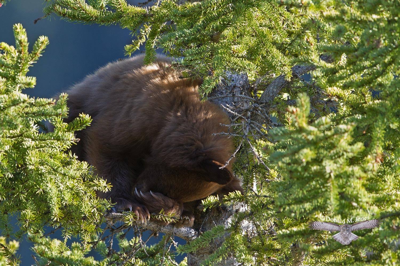 Black-Bear07039D