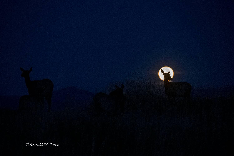 Elk-(Rocky-Mtn)26635D