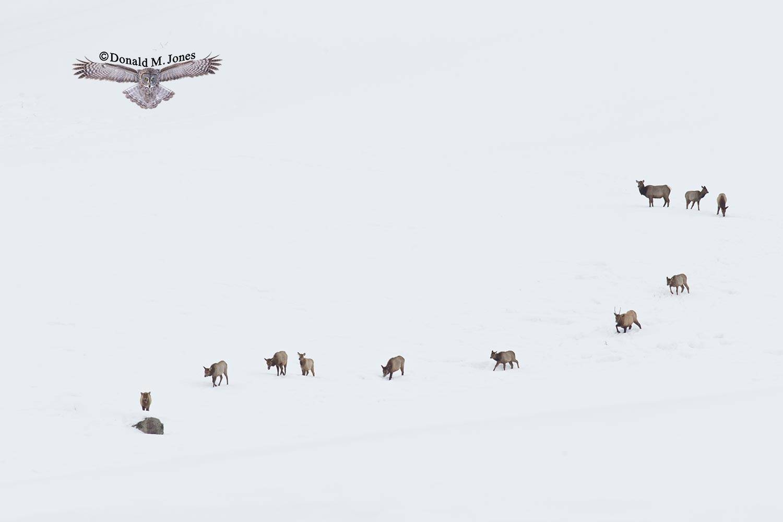 Elk-(Rocky-Mtn)16333D