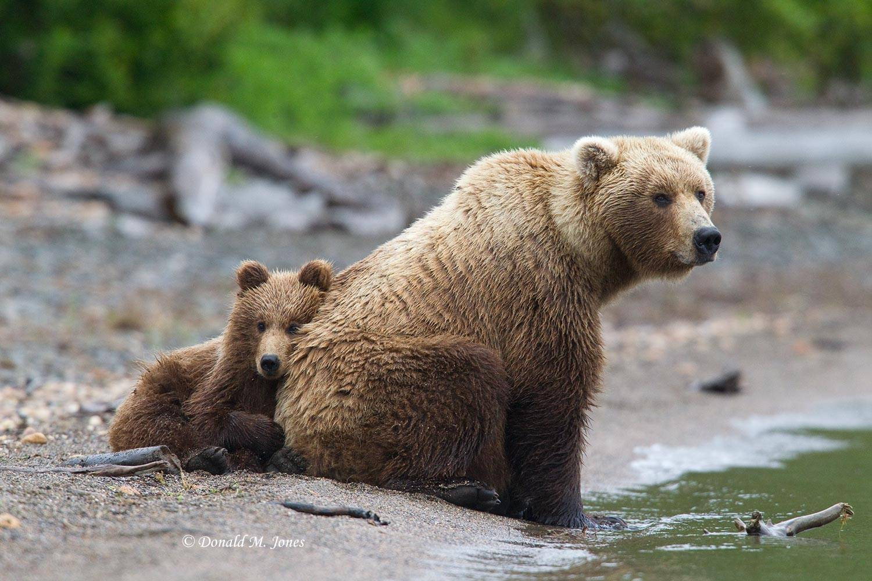 Brown-Bear00321D