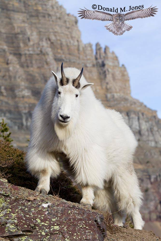 Mountain-Goat02804D