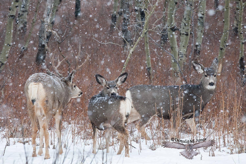 Mule-Deer08430D