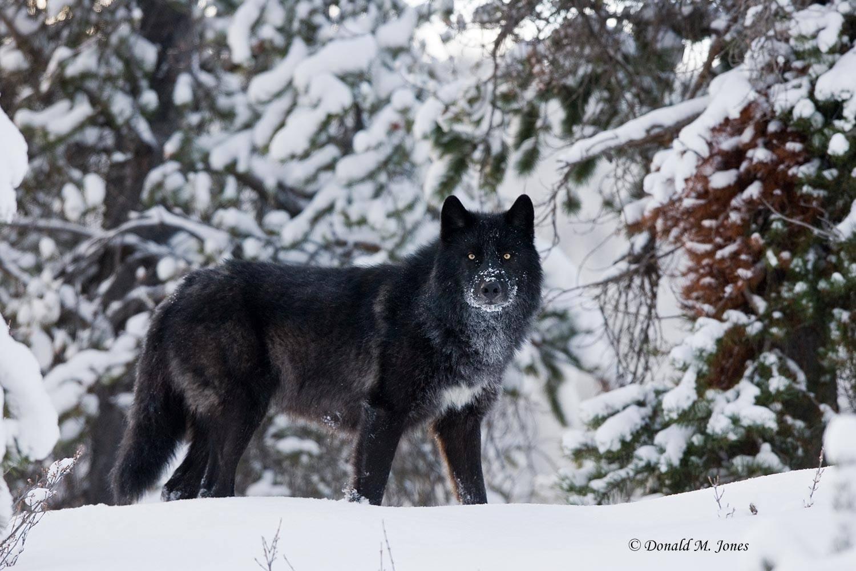 Wolf0373D