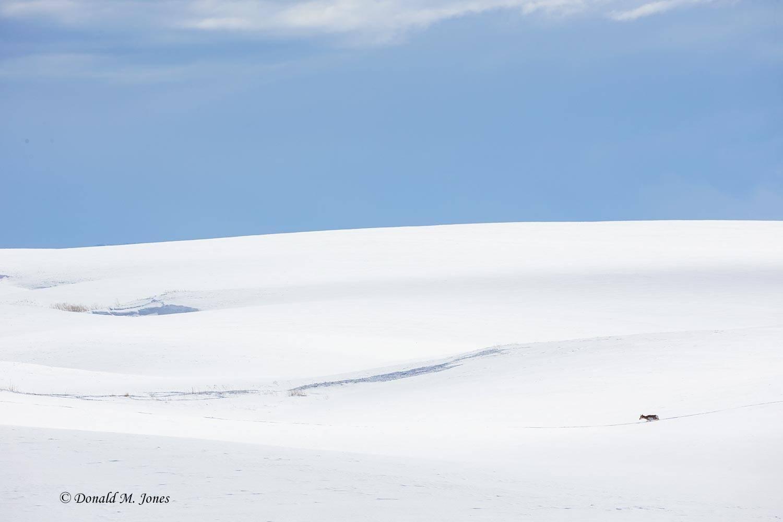 Pronghorn-Antelope05610D
