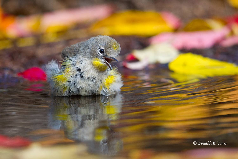 Yellow-rumped-Warbler0190D