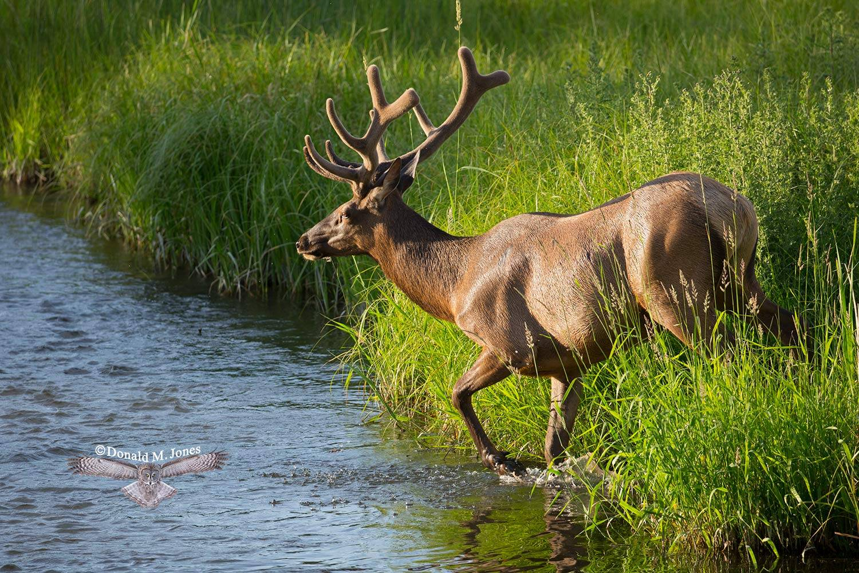 Elk-(Rocky-Mtn)21653D