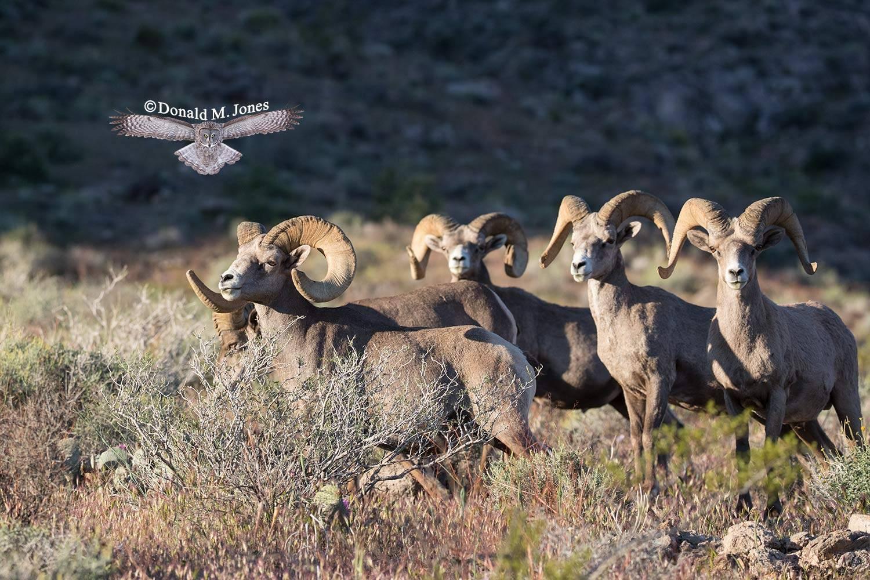 Desert-Bighorn-Sheep00868D