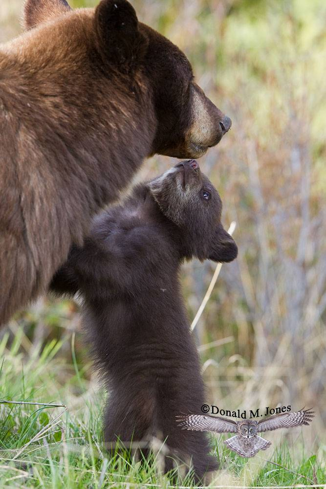 Black-Bear05953D