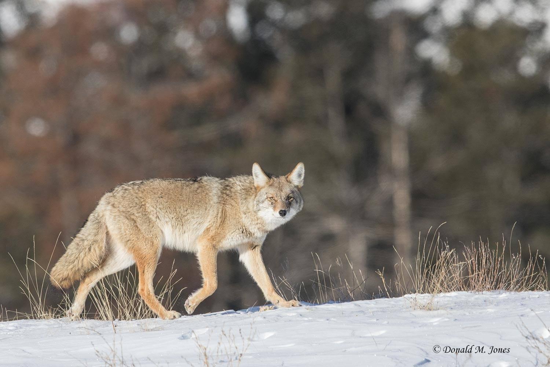Coyote2615D