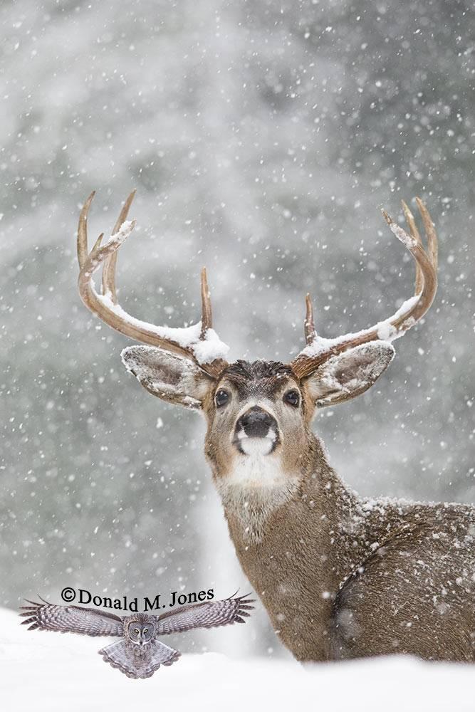 Whitetail-Deer35744D