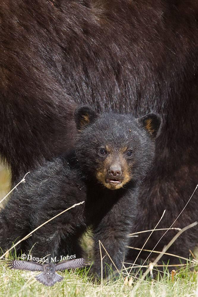 Black-Bear06138D