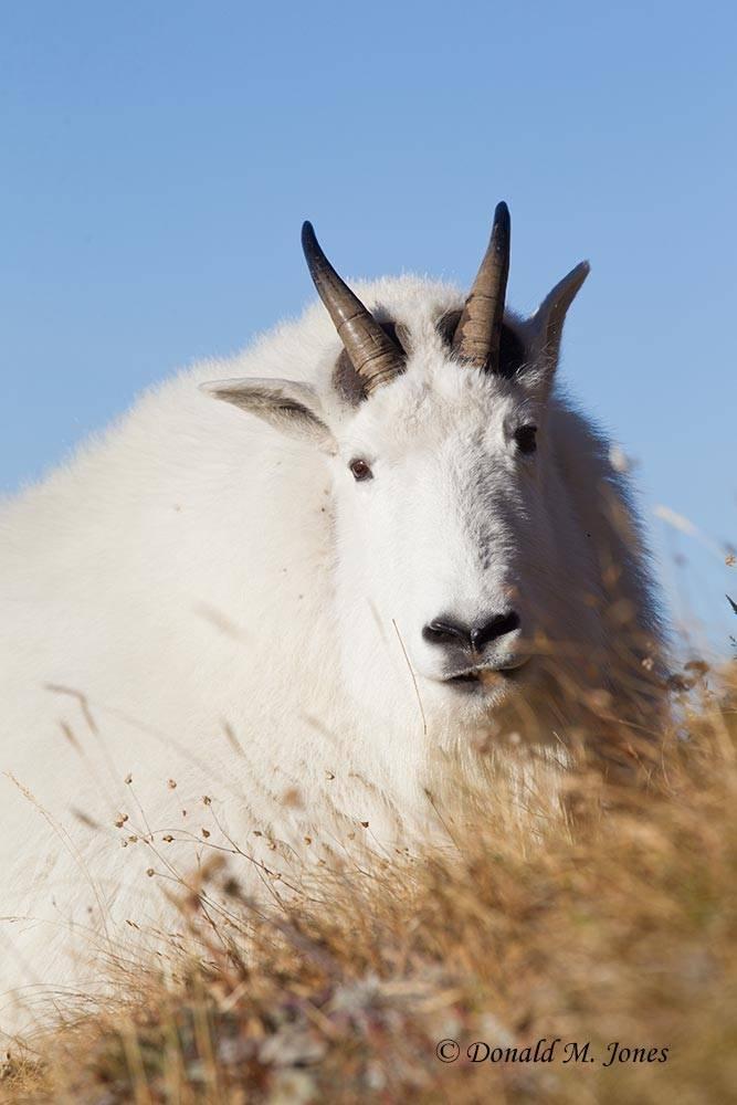 Mountain-Goat02816D
