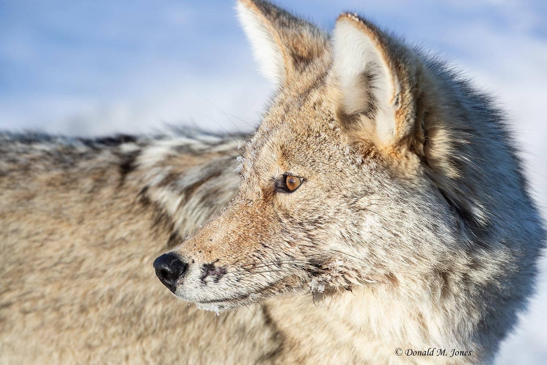 Coyote2663D