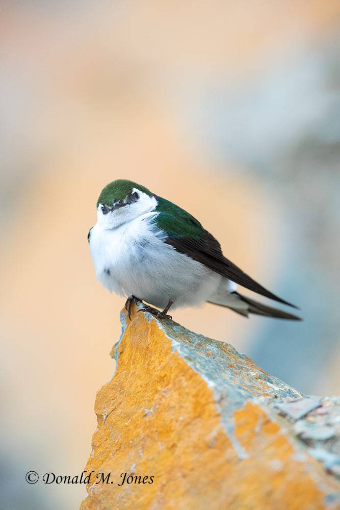 May 22, Violet-green Swallow