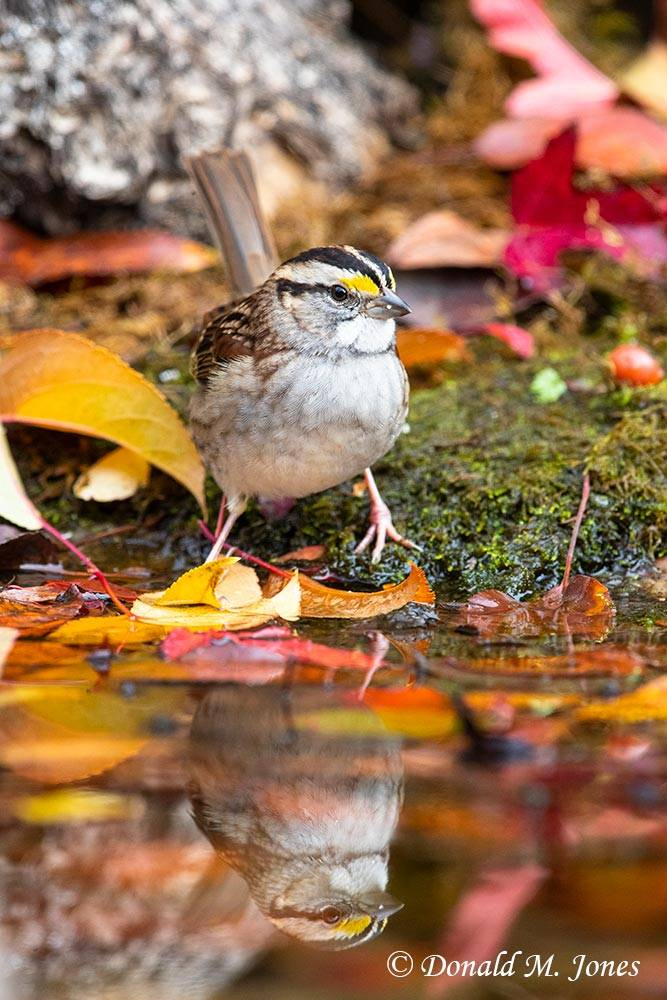 White-throated-Sparrow0220D