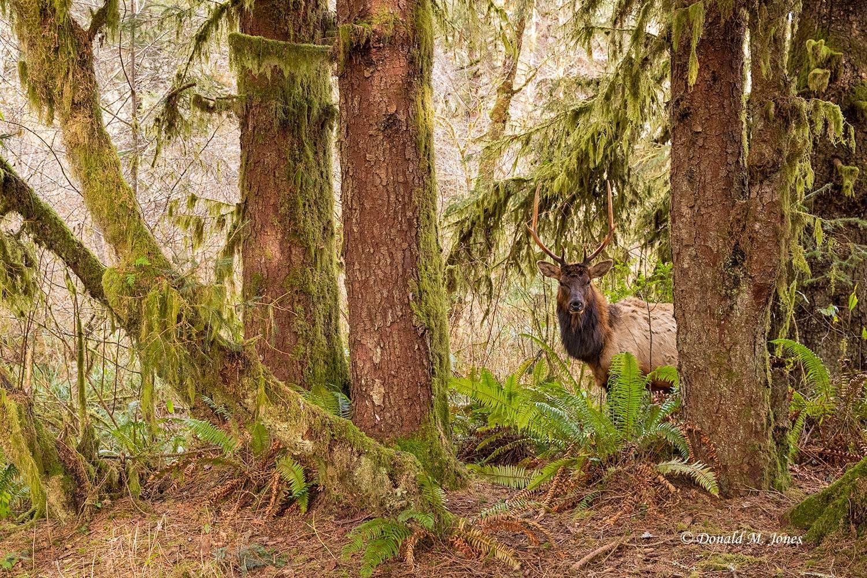 Elk-(Roosevelt)00196D