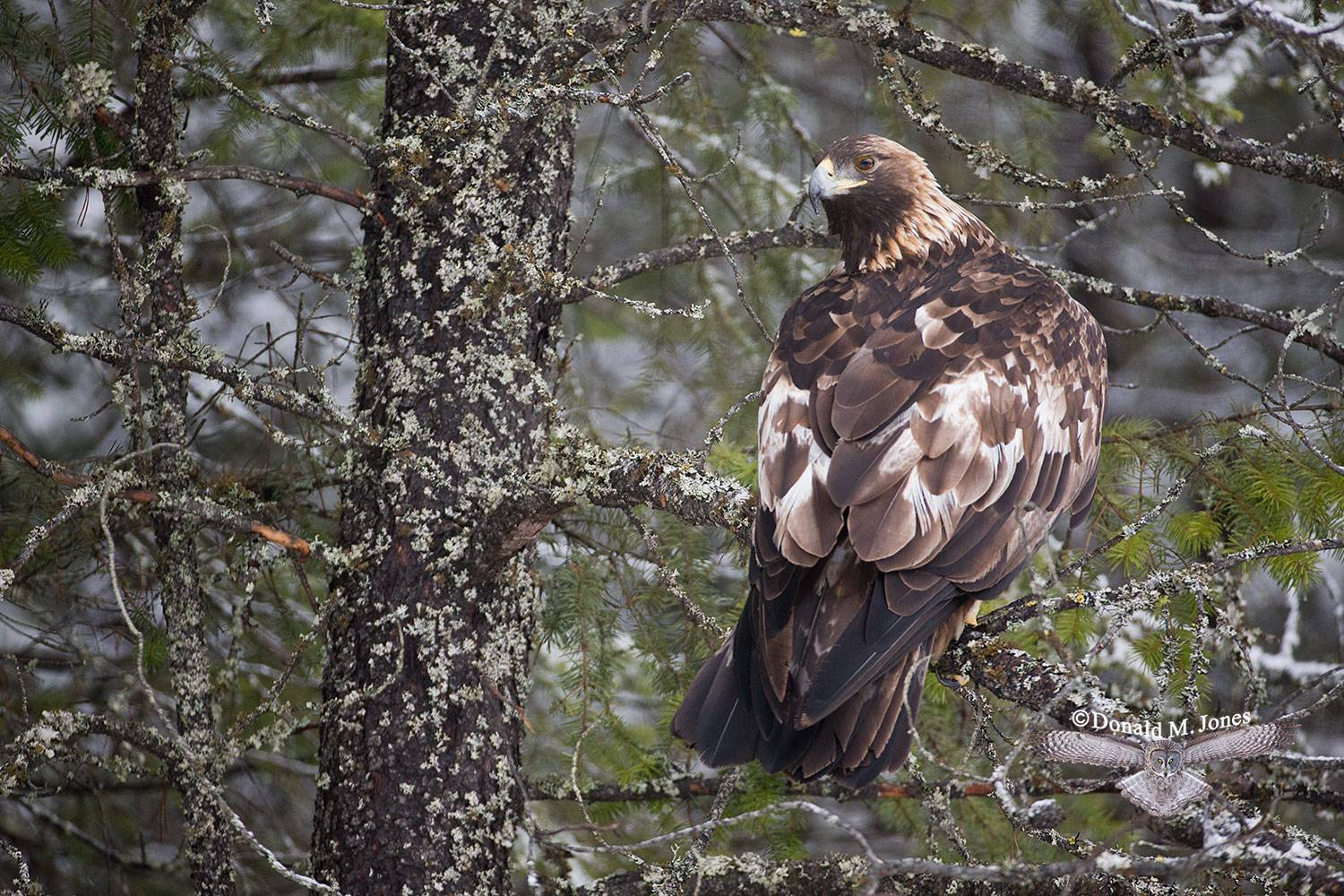 Golden-Eagle0060D