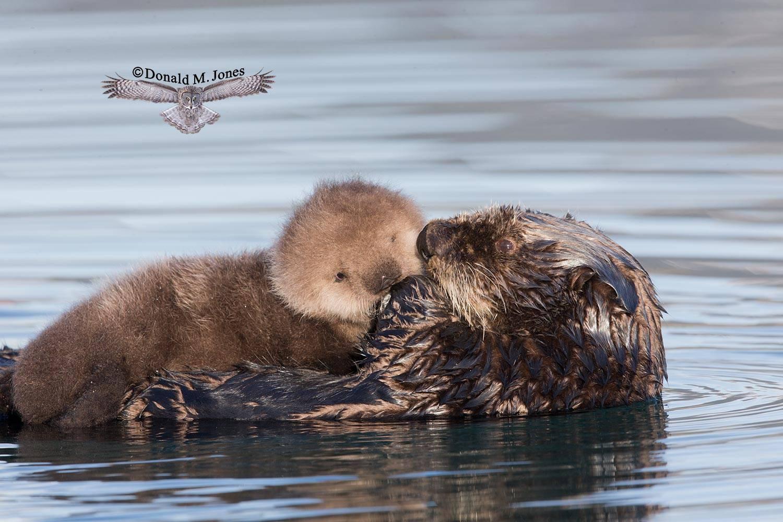 Sea-Otter0654D