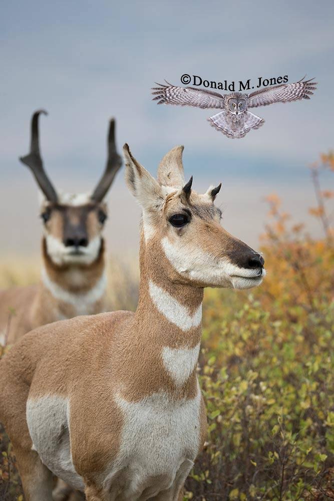 Pronghorn-Antelope04656D