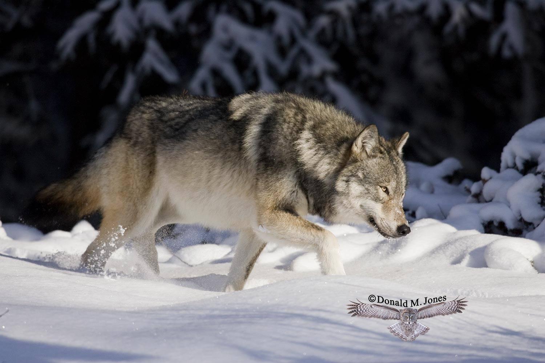 Wolf0456D