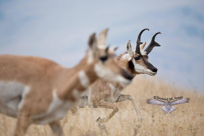 Pronghorn-Antelope04569D