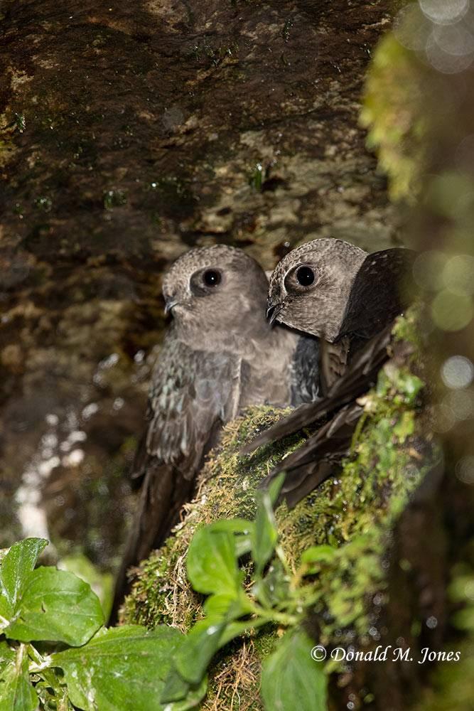 Black-Swift0140D Adults at nest