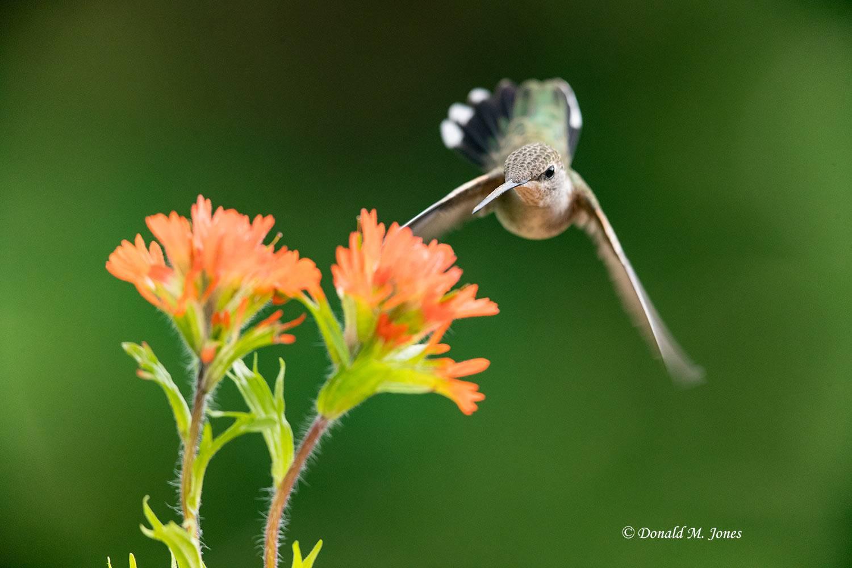 Black-chinned-Hummingbird0139D