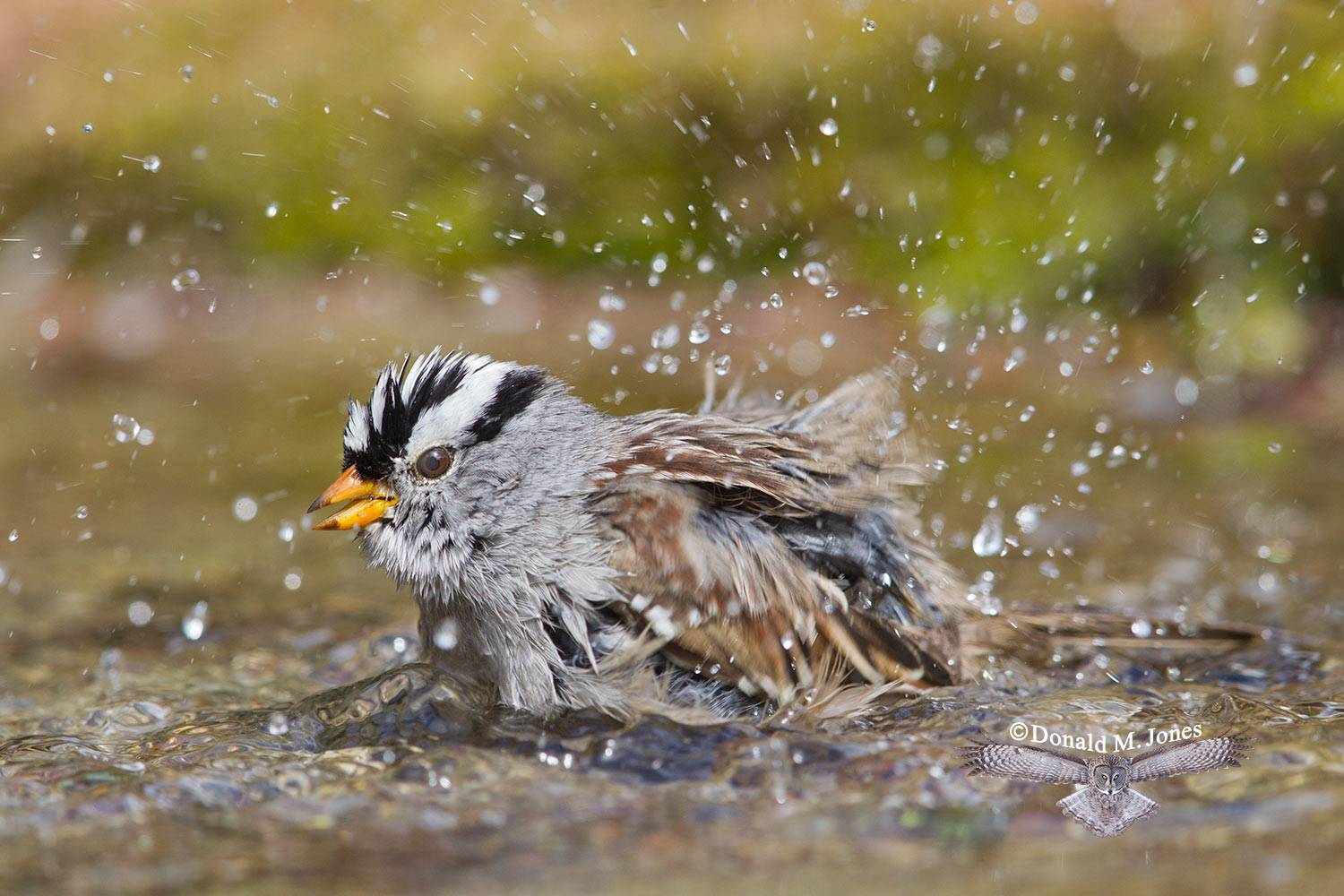 White-crowned-Sparrow0599D