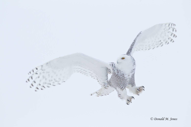 Snowy-Owl0421D