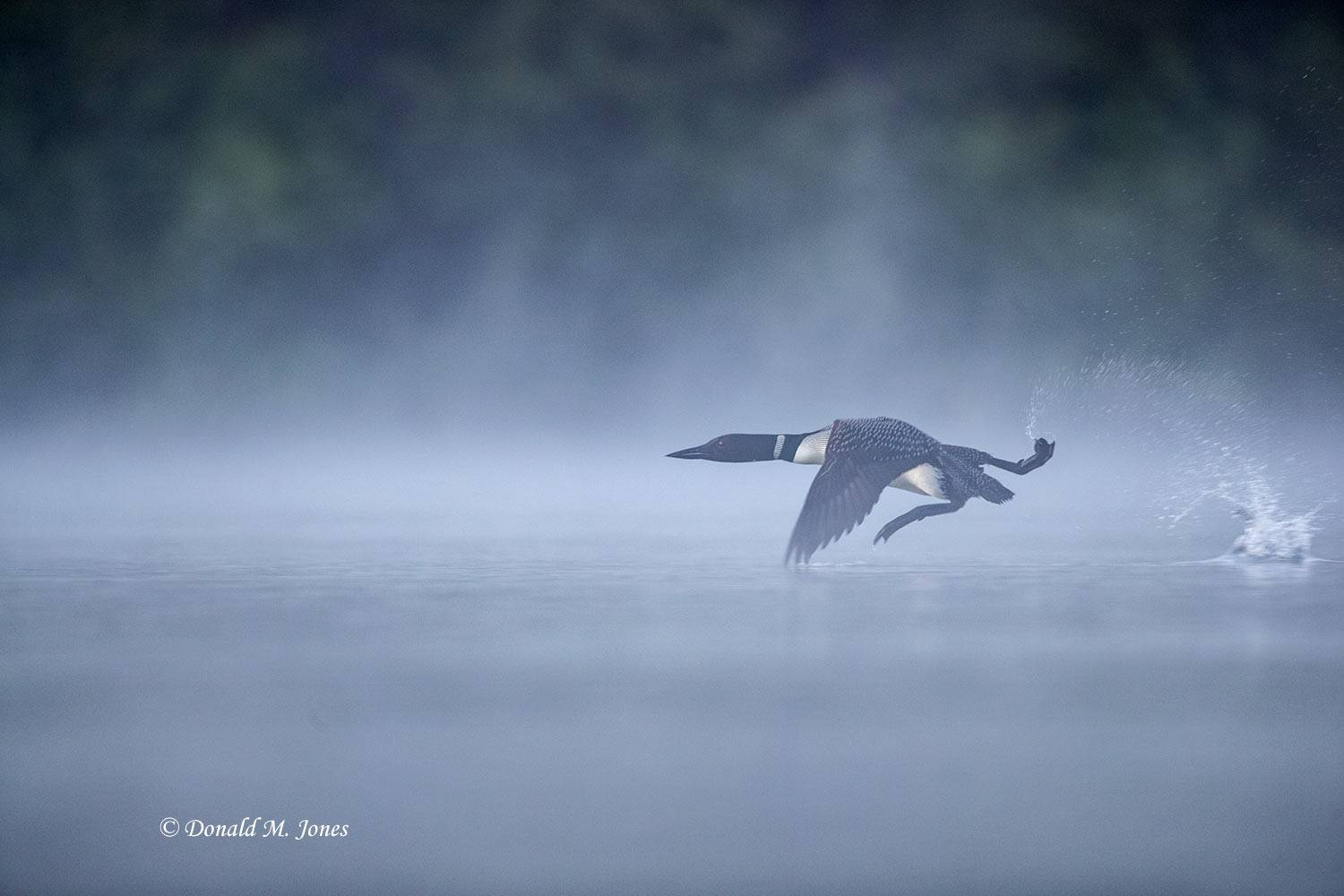 Common-Loon1428D